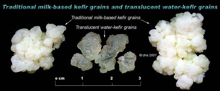 Diferencias granulos Kéfir de agua preparacion y kefir de leche preparacion
