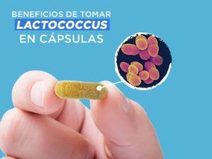 Lactococcus Prokey probióticos